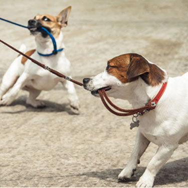 Stop your dog or puppy from using his leash as a tug toy. Learn how to put an end to leash biting and pulling with these dog training tips.